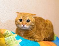 Red scottish fold cat looking at the camera. Red cat with folded ears looking at the camera Stock Images