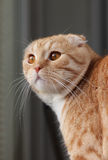 Red scottish fold cat Stock Images