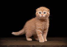 Red scottish fold kitten on table with wooden texture Royalty Free Stock Photos