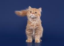 Red scottish highland cat on dark blue background Royalty Free Stock Photos