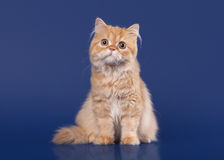 Red scottish highland cat Royalty Free Stock Images