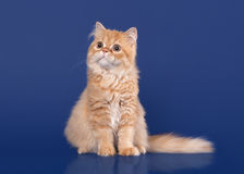 Red scottish highland cat on dark blue background Royalty Free Stock Photography