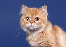 Red scottish highland cat Stock Photos
