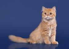 Red scottish highland cat on dark blue background Stock Image