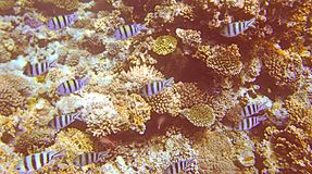 Red Sea. Marine life of the reefs around Giftun Islands, Hurghada coast, Egypt Royalty Free Stock Images