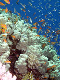 In Red sea. Corals and fishes, Red sea-Egypt Stock Photos