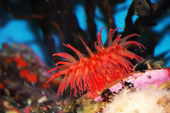 Red Sea Anemone. Attached to a  rock under water Stock Images