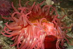 Red sea anemone Stock Image