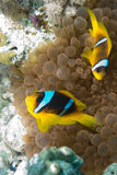 Red sea anemonefish Royalty Free Stock Images