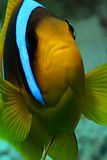 Red Sea Anemonefish Royalty Free Stock Photo
