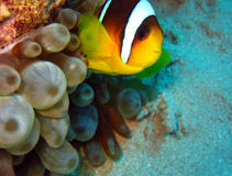 Red Sea Anemonefish. Ras Mohammed, Egypt Royalty Free Stock Photo