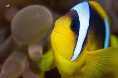 Free Red Sea Anemonefish Stock Photos - 7529833