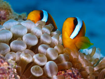 Red sea anemonefish. In bubble anemone. Close up royalty free stock photos