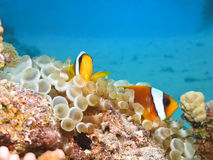 Red sea anemonefish. In bubble anemone. Close up stock images