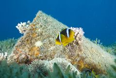 Red Sea anemonefish, aka. Nemo, close to a barrel. Royalty Free Stock Photography