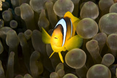Red sea anemonefish (Amphipiron bicinctus). And bubble anemone taken in Na'ama Bay Stock Photos