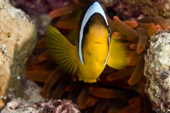 Red sea anemonefish (Amphipiron bicinctus). And bubble anemone taken in Na'ama Bay Stock Images