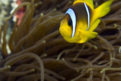 Red sea anemonefish (Amphipiron bicinctus). Taken in Middle Garden Stock Image