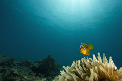 Free Red Sea Anemonefish (Amphipiron Bicinctus) Royalty Free Stock Images - 6351409