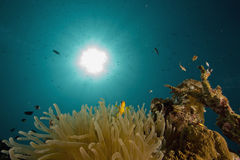 Red sea anemonefish (Amphipiron bicinctus) Stock Photography