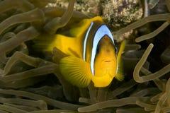 Red Sea Anemonefish (Amphipiron Bicinctus) And Bub Stock Image