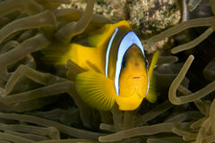 Red sea anemonefish (Amphipiron bicinctus) and bub. Ble anemone Stock Image
