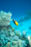 Red sea anemonefish (amphiprion bicinctus) Royalty Free Stock Image