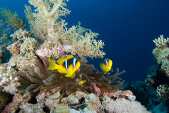Red sea anemonefish (amphiprion bicinctus) Stock Photography