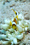 Red Sea Anemonefish (amphiprion bicinctus) Royalty Free Stock Photography