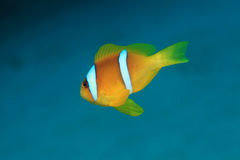 Red sea anemonefish. (Amphiprion bicinctus) underwater in the tropical Red sea Royalty Free Stock Image