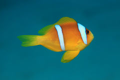 Red sea anemonefish. (Amphiprion bicinctus) underwater in the tropical Red sea Royalty Free Stock Photography