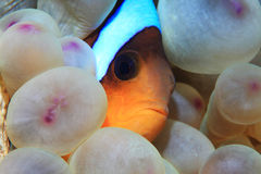 Red sea anemonefish. Amphiprion bicinctus underwater in the tropical reef of the Red Sea Royalty Free Stock Images
