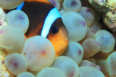 Red sea anemonefish. Amphiprion bicinctus underwater in the tropical reef of the Red Sea Stock Images