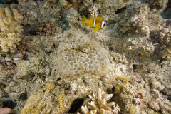 Red sea anemonefish  and bubble anemone Stock Photo