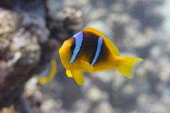 Red Sea Anemonefish on Coral Reef. In Red Sea off Sharm El Sheikh royalty free stock photography