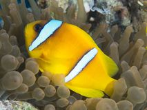 Red sea anemonefish Stock Photography