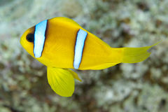 Red sea anemonefish Stock Images