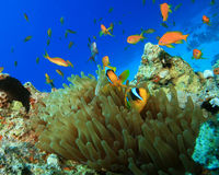 Red Sea Anemonefishes Stock Image