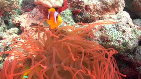 Red Sea anemonfish Amphiprion bicinctus in coral of Red sea Sudan stock video footage