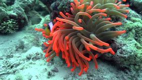 Red Sea anemonfish in Red sea. Red Sea anemonfish Amphiprion bicinctus in Red sea stock video