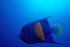 Red Sea Angelfish. One adult angel fish taken in the Red Sea (Pomacanthus maculosus stock photos