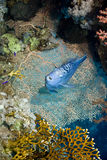 Red Sea Angelfish (Pomacanthus maculosus) Royalty Free Stock Photo