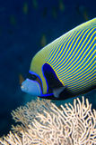 Red sea angelfish (Pomacanthus maculosus). Taken in Middle Garden Royalty Free Stock Images