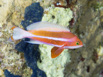 Red sea anthias. Coral fish Red sea anthias royalty free stock image