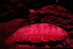 Red sea arthropod. This is the red sea arthropod in Tokyo skytree aquarium stock photos