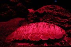 Red sea arthropod stock photos
