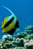 Red sea banner-fish. A red sea banner-fish underwater Royalty Free Stock Photography