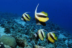 Red Sea Banner Fish Royalty Free Stock Images