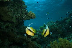 Red Sea Bannerfish Stock Image