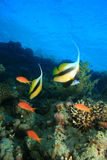 Red Sea Bannerfish Royalty Free Stock Image